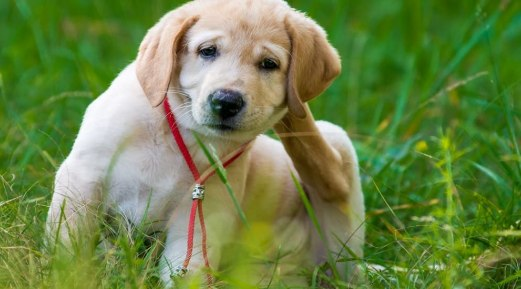 Everything to Know About Flea Infestation in Pets